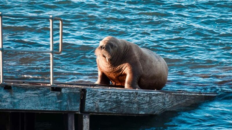 'Wally the Walrus' finally returns to UK bay after being scared off by tourists